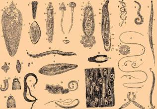 Sunând pe paraziți Paraziti cilveka organisma simptomi - Paraziti cilveka organisma simptomi
